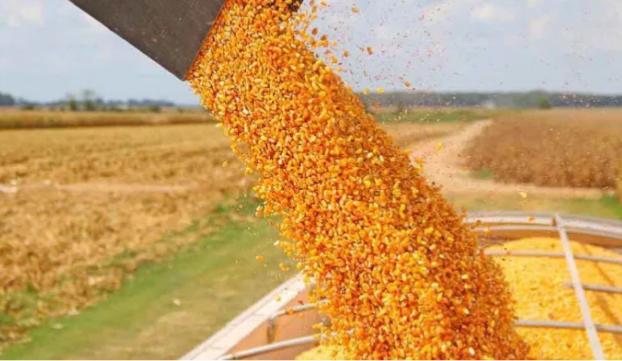 Levantan restricciones para exportar maíz