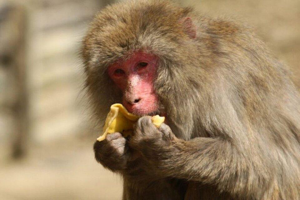 Tiembla JxC .China reportó la primera muerte de un hombre por un extraño virus de los monos y gorilas